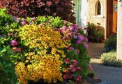 Рудбекия в цветнике на фоне гортензии