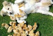Собака с цыплятами