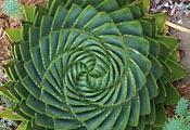 Алоэ многолистное (Aloe polyphylla)
