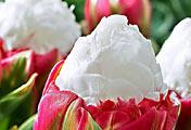 Тюльпан. Сорт Мороженное (Ice Cream)