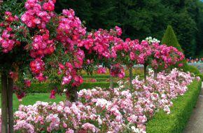 Розы в миксбордерах