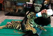 Шимпанзе кормит тигрёнка