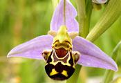 Орхидея Офрис пчелоносная