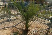 Пальма «Мафусаил»