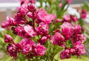 Махровые цветы Олендра