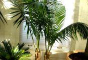 Пальма Равенея ручейная, или величественная