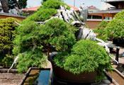 Шимпаку (Shimpaku) — один из древнейших бонсаев