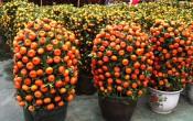 Мандариновое дерево — символ китайского нового года