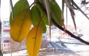 Почему у фикуса желтеют листья