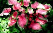 Каладиум Розовая симфония