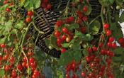 Черри-томаты Вишнёвый водопад Chery Cascade.