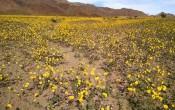 Суперцветение в Долине смерти