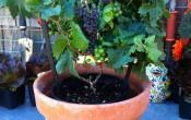 Карликовый виноград Pixie Grape