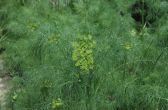 Укроп пахучий, или Укроп огородный