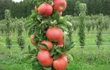 Колоновидная яблоня Соната