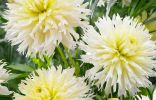 Георгина кактусовидная Айс кристал