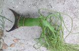 Растение островов Индийского океана