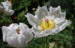Аргемона крупноцветковая (Argemone grandiflora)