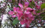 Подскажите, что за дерево так цветет