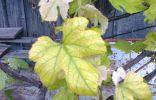 Винограду чего то не хватает