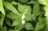 Растение с колючками и белыми цветами