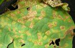 Ложная мучнистая роса на листьях огурца