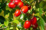 Плоды Розы красно-бурой