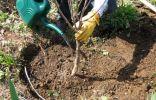 Посадка молодого дерева вишни
