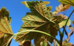 Ржавчина на листьях смородины, вызванная грибком Кронарциум смородиновый