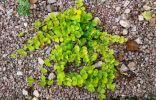 Помогите пожалуйста с названием этого стелющегося многолетнего растения