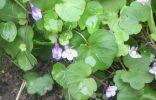 Растет это почвопокровное растение на клумбе