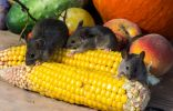 Мыши – грызуны вредители