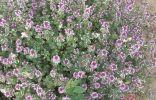 Тимьян блошиный, красиво выглядит, вкусно пахнет, одна из основных приправ