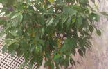 Переставил фикус с балкона в комнату и начали желтеть листья