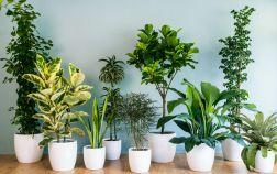 Классические комнатные растения