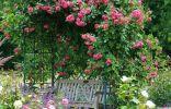 Розы плетистые на беседке