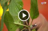 Размножение гортензии метельчатой одревесневшими черенками