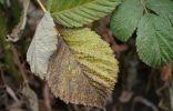 Пожелтение и некроз листьев малины