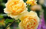 Роза «Голден селебрейшн»