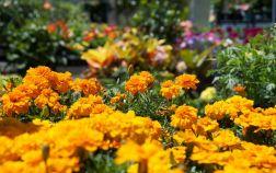 Бархатцы в цветнике