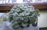 Купил это растение в хозяйственном супермаркете