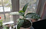 Помогите определить растение. Высаживались как пассифлора