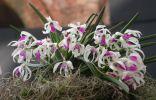 Орхидея Лептотес