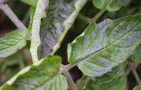 Посинение и скручивание листьев томата