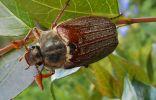 Майский жук, или майский хрущ