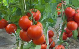 Плоды томата на ветках растения