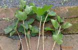 Заготовка зелёных черенков чёрной смородины