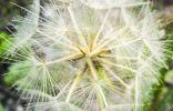 Что это за одуванчикоподобное растение