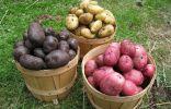 Картофель различных сортов