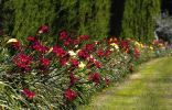 Однорядный цветник-бордюр из лилейников